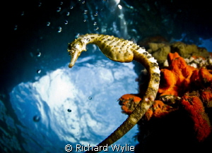 """What a long tail you have"". Pot Bellied Seahorse! by Richard Wylie"